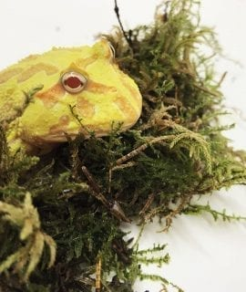 Albino Mutant Gene Clear Belly Horned Frog CB18