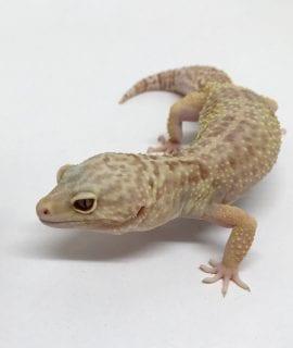 Female Rainwater Albino het Eclipse Leopard Gecko CB18