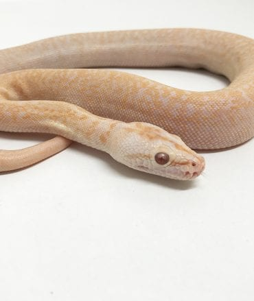 Male Albino Granite Burmese Python CB18