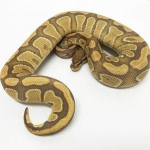 Male Caramel Royal Python CB17