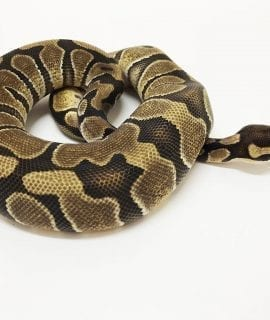 Female Enchi het Desert Ghost Royal Python CB17