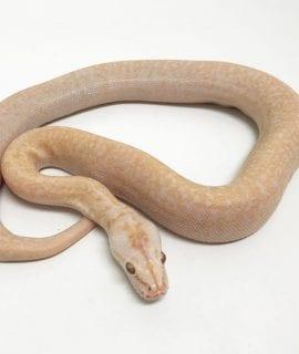 Female Albino Granite Burmese Python CB18