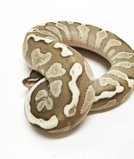 Male GHI Lesser Fire Royal Python CB17