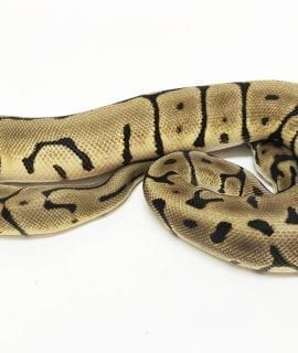 Male Leopard Spider het Desert Ghost Royal Python CB17