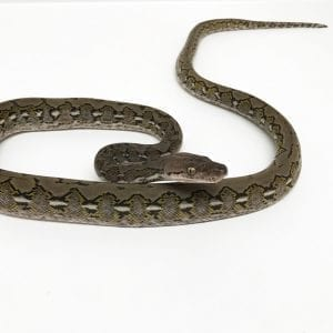 Female Madu Super Dwarf Reticulated Python CB17