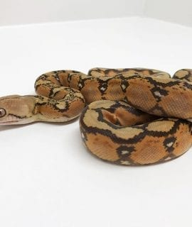 Male Mochino Sunfire poss het Genetic Stripe Dwarf Reticulated Python CB18