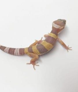 Tremper Albino Leopard Gecko CB18