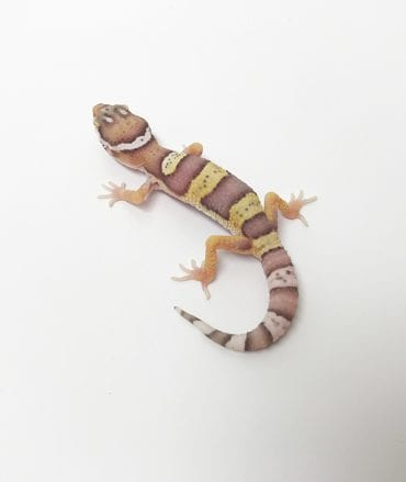 Tremper Mack Snow Leopard Gecko CB18