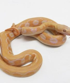 Male White Sunfire Tiger poss het Genetic Stripe Dwarf Reticulated Python CB18