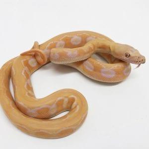 Male White Sunfire Tiger poss het Genetic Stripe Dwarf Reticulated Python CB18