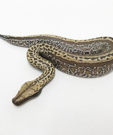 Female Superstripe Batik 50% het T+ Albino Blood Python CB18