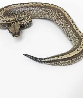 Male Superstripe Batik 50% het T+ Albino Blood Python CB18