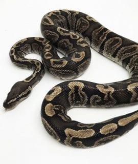 Male GHI Breeder Royal Python CB16