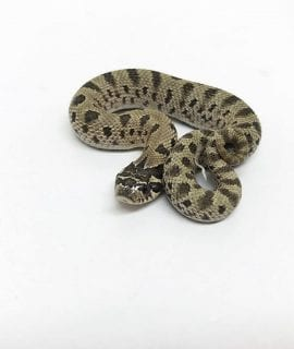 Anaconda Western Hognose CB18