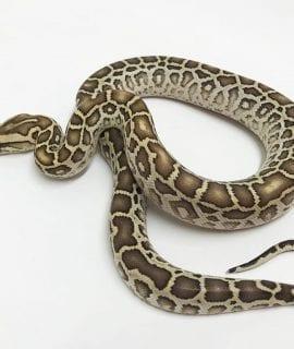 Female Hypo Burmese Python CB18