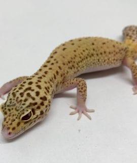 Female Bell Albino Leopard Gecko CB187