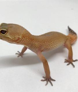 Female Tangerine Leopard Gecko CB18
