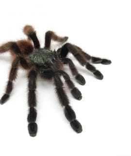 Female Avicularia versivolor