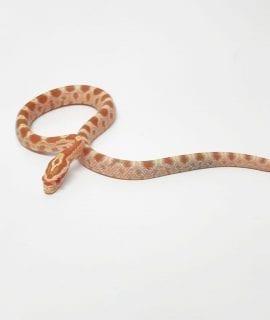 Amel Corn Snake CB19