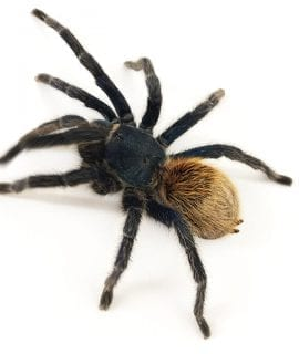 Female Chromatopelma cyaneopubescens