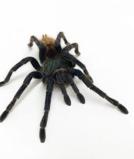 Female Chromatopelma cyaneopubescens SA