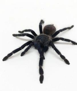 Female Pterinopelma sazimai