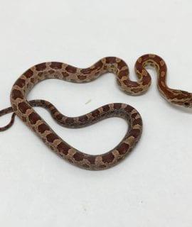 Male Het Scaleless Motley Amel Anery Corn Snake CB17