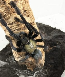 Female Cyriopagopus schioedtei