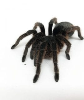 Female Phormictopus cancerides