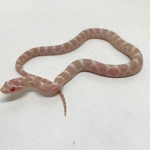 Female Snow het Scaleless Corn Snake CB18