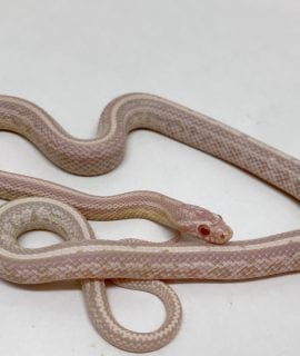 Male Snow Tessera het Scaleless Strawberry Corn Snake CB17