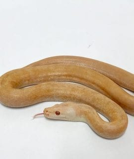 Female Albino Green Granite Burmese Python CB18