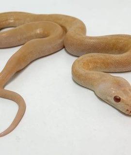 Male Albino Green Granite Burmese Python CB18