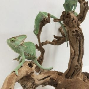 Male Yemen Chameleon CB18