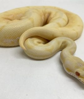 Male Albino Spider Royal Python CB17