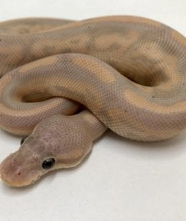 Male Banana Cinnamon Het Pied Royal Python CB18