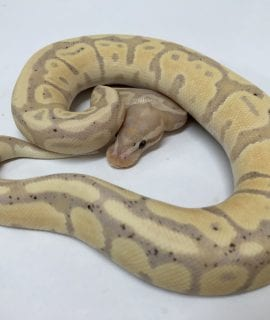 Male Banana Fire PH Pied Royal Python CB18