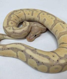 Male Banana Fire PH Pied Royal Python CB18