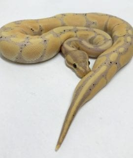 Female Banana Het Clown Royal Python CB18