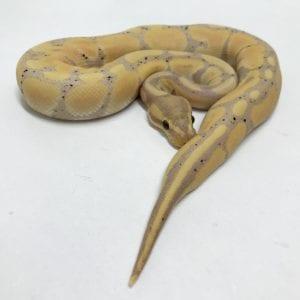 Female Banana Het Clown Royal Python CB18