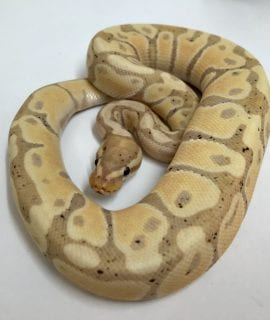 Male Banana Pastel PH Pied Royal Python CB18