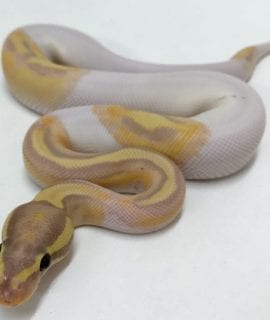 Male Banana Pied Royal Python CB18