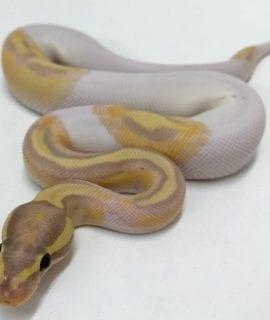 Male Banana Pied Royal Python CB18