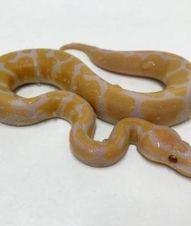 Male Lavender Albino Het Pied Royal Python CB18