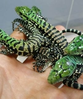 Black and White Tegu CB18 PRE ORDER NOW
