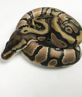 Male Hidden Gene Woma 100% het Ghost Royal Python CB18