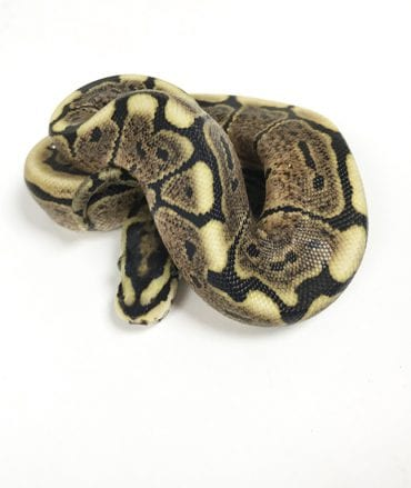 Female Spider GHI 100% het Ghost Royal Python CB18