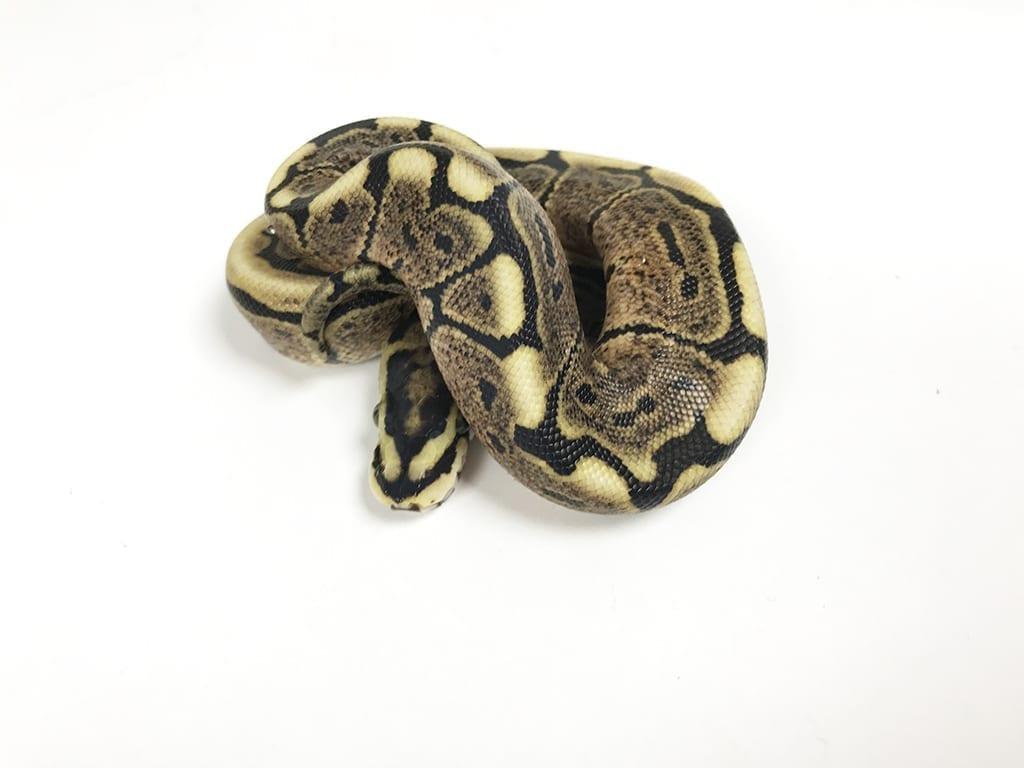 Female Spider GHI 100% het Ghost Royal Python CB18