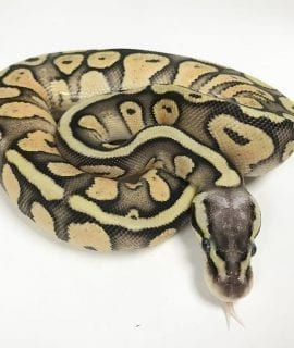 Female Vanilla Pastel Yellowbelly 66% het Ghost Royal Python CB18