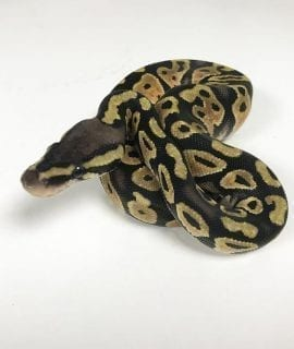 Female Pastel Royal Python CB18